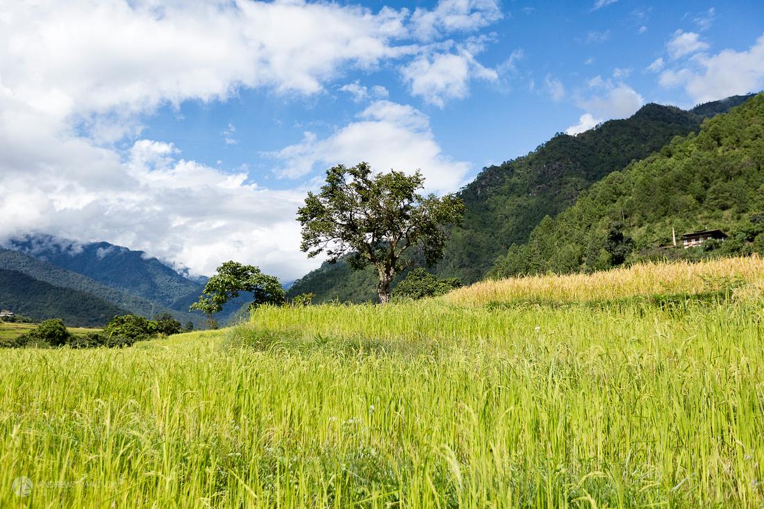 Rice fields of Punakha