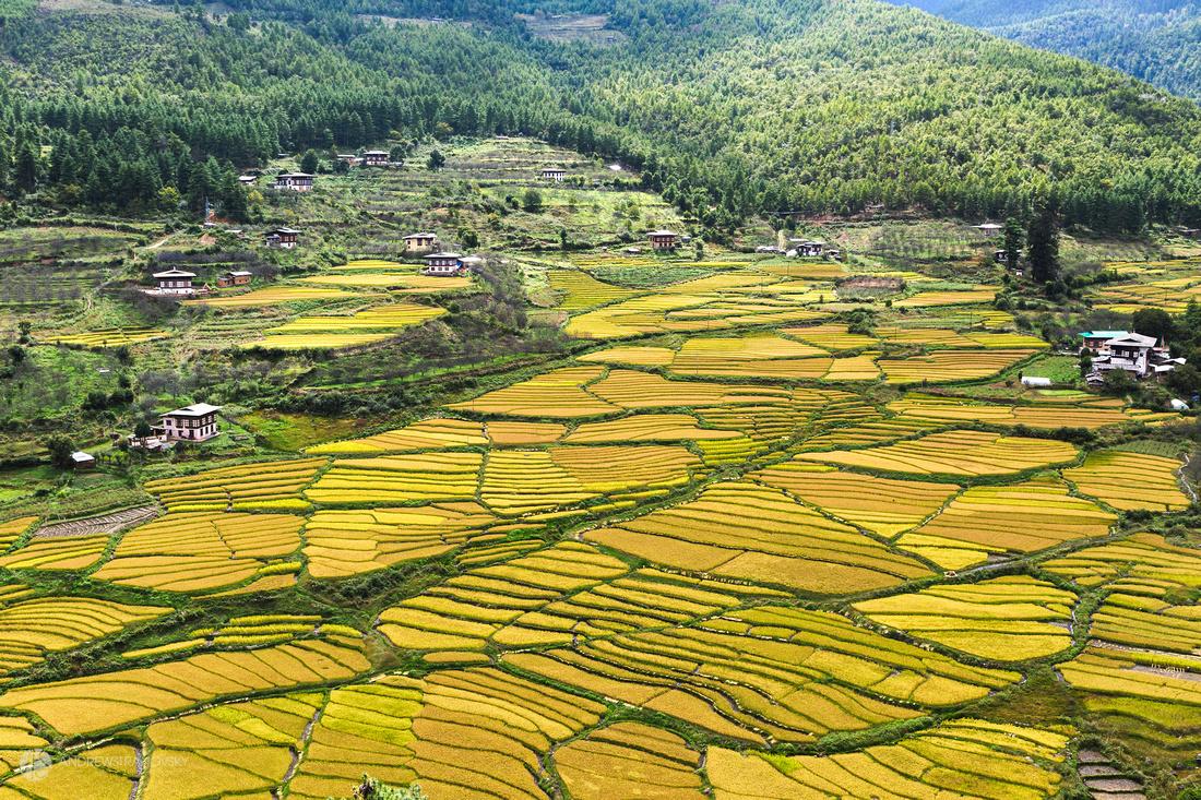 Rice Fields in Paro